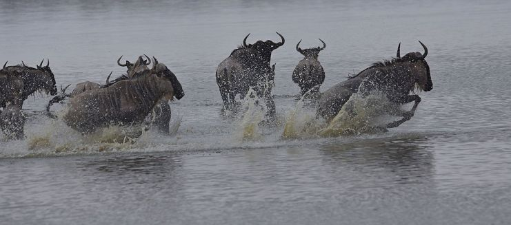 Blog Photo - FOTA Photo Comp Gerry Atkinson with Wildebeest Water Fun