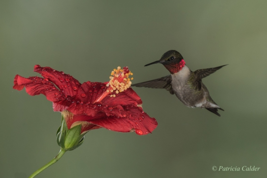 Blog Photo - PatriciaCalder-Hummingbird